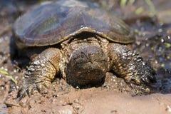 Tartaruga di schiocco dell'alligatore di Ameican che striscia nel fango Fotografia Stock