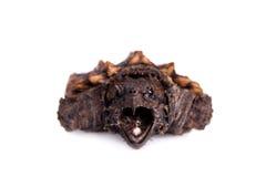 Tartaruga di schiocco dell'alligatore su bianco Fotografia Stock Libera da Diritti