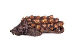 Tartaruga di schiocco dell'alligatore su bianco Immagine Stock