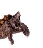 Tartaruga di schiocco dell'alligatore su bianco Fotografia Stock