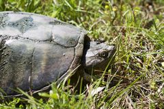 Tartaruga di schiocco dell'alligatore - temminckii di Macrochelys Immagine Stock Libera da Diritti