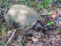 Tartaruga di schiocco dell'alligatore - temminckii di Macrochelys Fotografia Stock Libera da Diritti