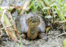 Tartaruga di schiocco lunga del collo in palude, Georgia U.S.A. Immagini Stock Libere da Diritti