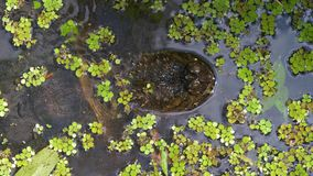 Tartaruga di schiocco nella palude della giungla di Florida archivi video