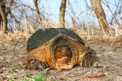 Tartaruga di schiocco (serpentina del Chelydra) Immagine Stock Libera da Diritti
