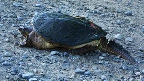 Tartaruga di schiocco su terra asciutta Immagine Stock