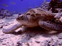 Tartaruga di Sipadan Fotografia Stock