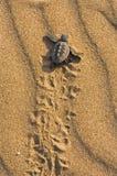 Tartaruga di stupido (carretta del Caretta) Fotografie Stock