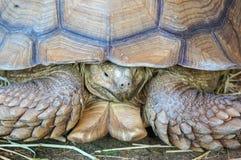 Tartaruga di Sulcata del gigante del primo piano A Immagini Stock Libere da Diritti