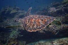 Tartaruga di volo Immagini Stock