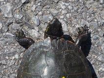 Tartaruga dipinta orientale che attraversa la strada immagine stock libera da diritti