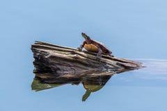Tartaruga dipinta su una connessione uno stagno fotografia stock