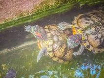 Tartaruga dipinta sveglia della tartaruga d'acqua dolce (borneoensis di Batagur) quella fronte Immagine Stock