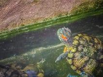 Tartaruga dipinta sveglia della tartaruga d'acqua dolce (borneoensis di Batagur) quella fronte Fotografia Stock Libera da Diritti
