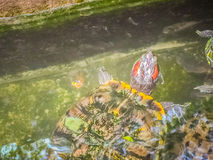 Tartaruga dipinta sveglia della tartaruga d'acqua dolce (borneoensis di Batagur) quella fronte Fotografie Stock