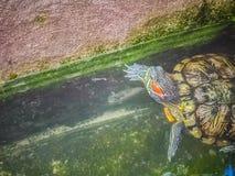 Tartaruga dipinta sveglia della tartaruga d'acqua dolce (borneoensis di Batagur) quella fronte Fotografie Stock Libere da Diritti