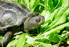 Tartaruga divertente in erba verde Fotografie Stock Libere da Diritti
