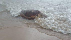 Tartaruga do ‹do †do ‹do †do mar Fotos de Stock