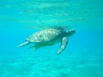 Tartaruga do ‹do †do ‹do †do mar Foto de Stock