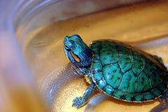 Tartaruga do animal de estimação do passatempo Fotografia de Stock