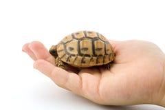 Tartaruga do bebê em uma mão da criança Fotografia de Stock Royalty Free