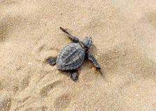 Tartaruga do bebê na praia imagens de stock