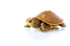 Tartaruga do bebê Fotos de Stock