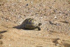 Tartaruga do Dente reto-thighed Imagem de Stock Royalty Free