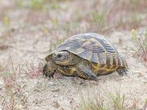 Tartaruga do dente reto-Thighed ou tartaruga grega (ibera do graeca do Testudo) Imagens de Stock