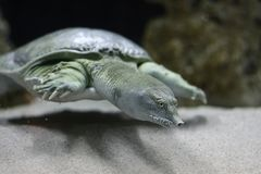 Tartaruga do macio-escudo de Florida Foto de Stock Royalty Free