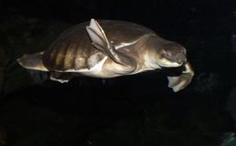 tartaruga do Porco-nariz Fotografia de Stock