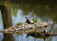 Tartaruga do slider em um ramo foto de stock