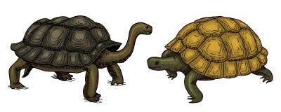 Tartaruga e concha de tartaruga tropicais, répteis dos animais Animal de estimação e animais selvagens mão gravada tirada no esbo Imagem de Stock Royalty Free