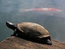 Tartaruga e peixes vermelhos Fotografia de Stock
