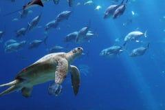 Tartaruga e pesce di mare subacquei ad un acquario Immagini Stock