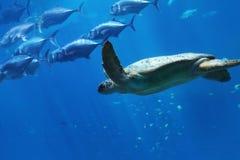 Tartaruga e pesce di mare subacquei ad un acquario Immagine Stock Libera da Diritti
