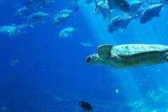 Tartaruga e pesce di mare subacquei ad un acquario Fotografie Stock Libere da Diritti