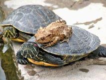 Tartaruga e sapo Fotos de Stock