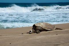 Tartaruga ed oceano Fotografia Stock Libera da Diritti