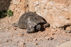 Tartaruga em um fundo rochoso Foto de Stock