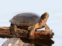 Tartaruga em um início de uma sessão uma lagoa Fotos de Stock Royalty Free