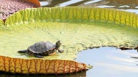 Tartaruga em um lírio na água vídeos de arquivo