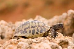 Tartaruga em uma rocha Fotos de Stock
