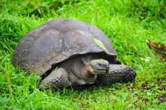 Tartaruga encantador da senhora Galápagos na grama Foto de Stock