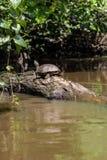A tartaruga enorme está ficando em uma árvore caída dentro do rio Foto de Stock