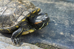 A tartaruga está na pedra Fotos de Stock