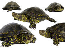 A tartaruga européia da lagoa (orbicularis de Emys) Imagem de Stock