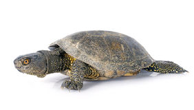 Tartaruga europea dello stagno Immagine Stock