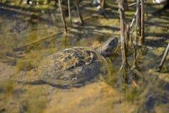 Tartaruga europeia da lagoa - orbicularis de Emys Imagem de Stock