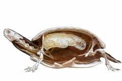 Tartaruga farcita dissecata Immagini Stock Libere da Diritti